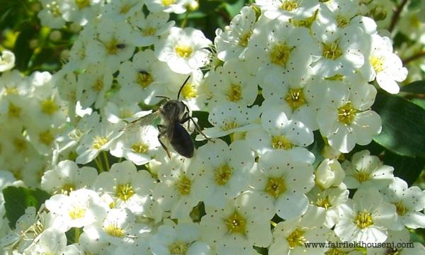 Viburnum and Honeybee