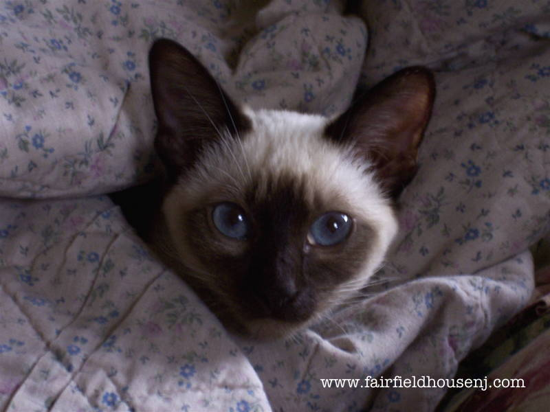 Siamese Cat in Blanket Mishka