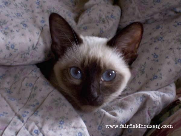 Siamese Cat in Blanket Mishka