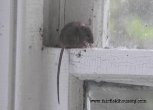 Sitting Mouse