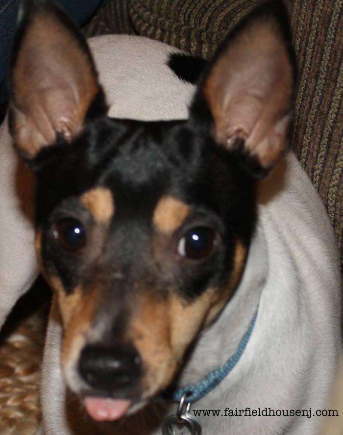 Rat Terrier Scout