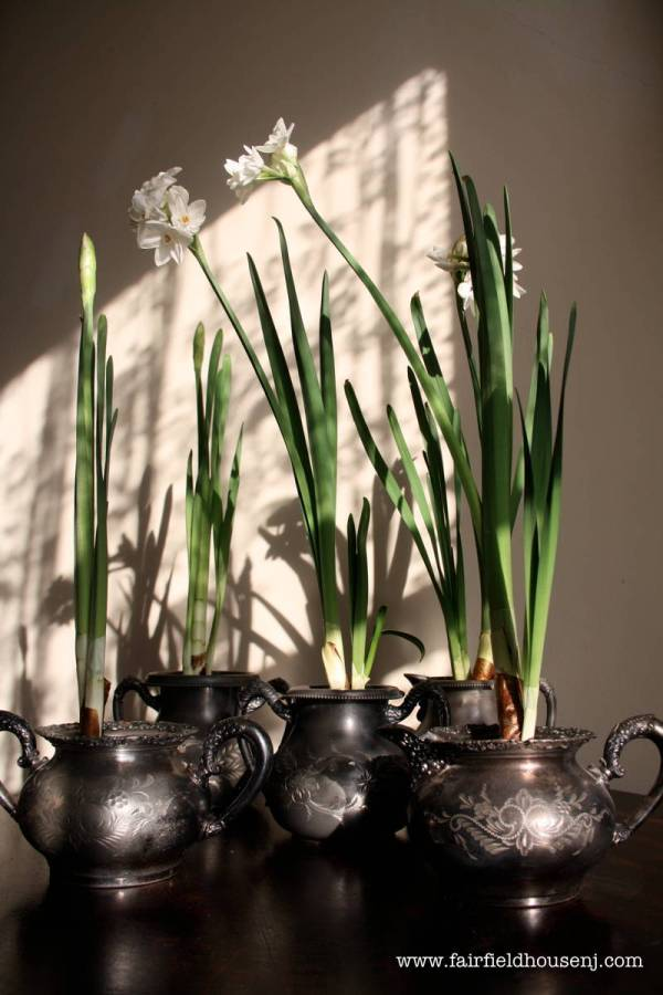 paperwhites on table